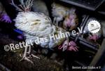 23 Bodenhaltung drinnen Huhn weiß