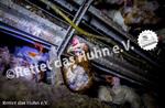24 Bodenhaltung drinnen Huhn braun