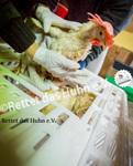 36 Bodenhaltung Schleuse Hühner in die Box setzen