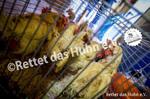 41 Bodenhaltung Hühner im Kleintierkäfig