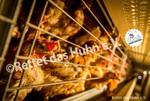 44 Bodenhaltung drinnen Hühner sepia