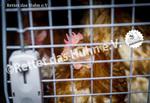 60 Bodenhaltung Pflegehühner im Gockeltaxi